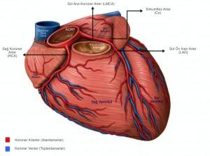 kalbin arteryel sistemi