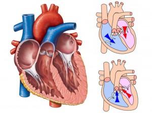 valvular kalp hastalıkları(kalp görünüş)